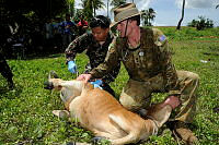 Philippines Air Force veterinary technician, Staff Sergeant Benjamin Manabat, injects a cow, being held by Australian Army veterinarian, Captain Kendall Crocker, with vitamins during a veterinary civil assistance program near Legazpi, Philippines, during Exercise BALIKATAN